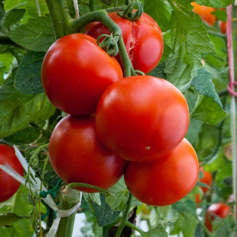 Экстракт томата