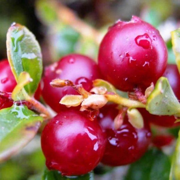 паста Liqberry из брусники
